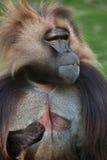 Baboon Gelada gelada Theropithecus Στοκ Εικόνα