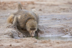 Baboon getting a drink from water hole. Baboon drinking from a water hole Royalty Free Stock Image