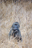 Baboon in Grass Royalty Free Stock Photo