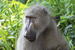 Baboon in green grass Royalty Free Stock Images