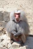 Baboon greeting visitors royalty free stock photo