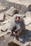 Baboon greeting visitors. At Wildlands Emmen royalty free stock image