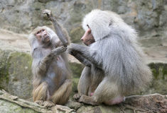 Baboon grooming Royalty Free Stock Photography