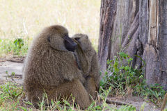 Baboon Grooming each other Royalty Free Stock Images