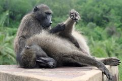 Baboon grooming session Royalty Free Stock Photography