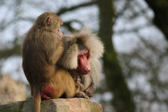 Baboon hairdresser. Baboon picking bugs out of hair of a male stock images