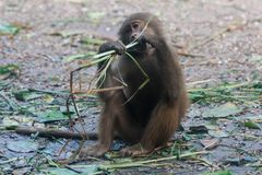 Baboon hamadryas κάθεται και τρώει τη χλόη Στοκ Φωτογραφίες