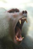 baboon hamadryas Στοκ Φωτογραφία
