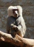 baboon hamadryas Στοκ Εικόνα