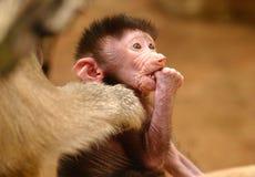 baboon hamadryas Στοκ εικόνα με δικαίωμα ελεύθερης χρήσης