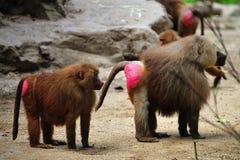 baboon hamadryas Στοκ εικόνες με δικαίωμα ελεύθερης χρήσης