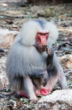 Baboon Stock Image