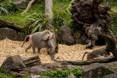 Baboon. Hamadryas Baboon walking on the ground stock photos