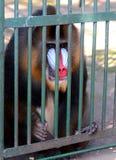 Baboon Hamadryl στοκ εικόνες