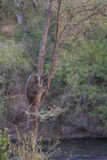A baboon hanging in a tree Stock Images