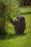 Baboon having lunch. Manyara lake national park. Tanzania stock images