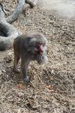 Baboon Having a Snack. One of the Melbourne Zoo's baboons having a snack royalty free stock photo