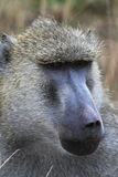 Baboon Head - Safari Kenya. The thoughtful gaze of a baboon Stock Photos