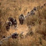 Baboon. Herd group africa tanzania safari savannah baby bush baboon ape monkey stock photography