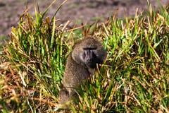 Baboon i savannah Arkivfoton