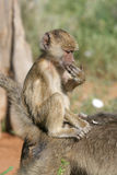 Baboon infant. Riding piggyback style on its mother Royalty Free Stock Photography