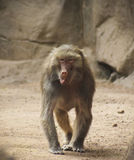 A Baboon with its Tongue Hanging Out Royalty Free Stock Images