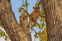 Baboon jump on a tree. Female Chacma Baboon species Papio ursinus, jump into the branches of tree in nature forest. Cape baboon in Kruger National Park, South stock photography