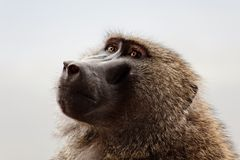 Baboon in the Kenya. The Baboon in the park in the Kenya royalty free stock photography