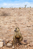 Baboon in Kenya Stock Photos