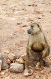 Baboon in Kenya Royalty Free Stock Image