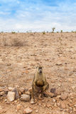 Baboon in Kenya Stock Photography