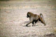 Baboon (Kenya) Royalty Free Stock Image