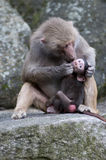 Baboon kiss Stock Images