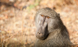 Baboon in Kruger National Park Royalty Free Stock Photography