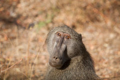 Baboon in Kruger National Park Stock Photography