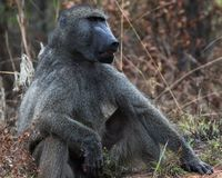 Baboon in Kruger National Park. Baboon Papio cynocephalus ursinus male, in Kruger National Park, Mpumalanga, South Africa stock photos