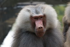 Baboon leader Stock Photos