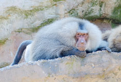 Baboon. A lone baboon laying on a rock looking and watching Stock Photo