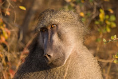 Baboon longing look. Chamca Baboon looking into distance, close up, portrait, blurred background Royalty Free Stock Images