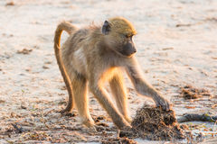 Baboon looking in elephant dung for insects. In africa royalty free stock images