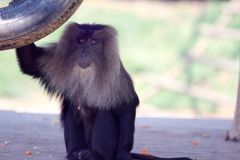 The baboon is looking forward. In the sunlight in the zoo on greem background stock photo