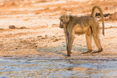 Baboon looking at river for danger Stock Photos
