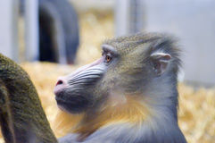 Baboon looking set. In a zoo in France stock images