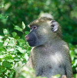 The baboon is looking somewhere. The funny baboon is looking somewhere royalty free stock photography