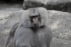 Baboon looking at you Royalty Free Stock Photography