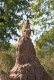 Baboon on the lookout Stock Image