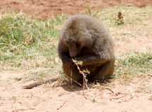 Baboon lunch Royalty Free Stock Photo