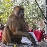 Baboon male Royalty Free Stock Image