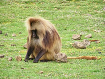 Baboon male sits on grass Stock Photo