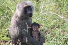 Baboon. Mama and baby baboon in Tarangire National Park Royalty Free Stock Photo